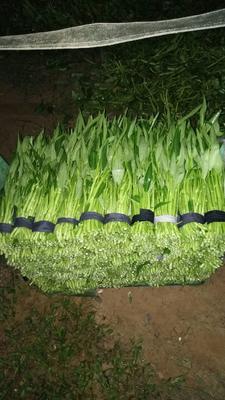 广东省东莞市东莞市泰国空心菜 25 ~ 30cm