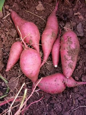 湖南省郴州市永兴县一点红红薯 3两~6两 红皮