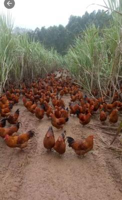 广西壮族自治区玉林市博白县阉鸡 5-6斤 统货