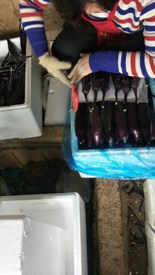 山东省潍坊市寿光市大龙茄子 混装通货 长茄
