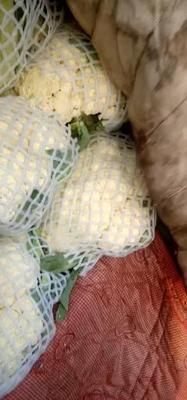 河北省邯郸市丛台区白面青梗松花菜 松散 1~2斤