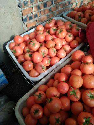 辽宁省朝阳市双塔区硬粉番茄 精品 弧二以上 硬粉