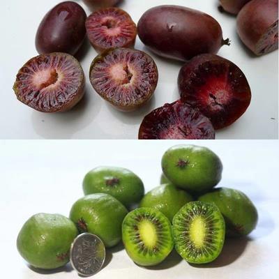 这是一张关于软枣猕猴桃苗 嫁接苗 的产品图片