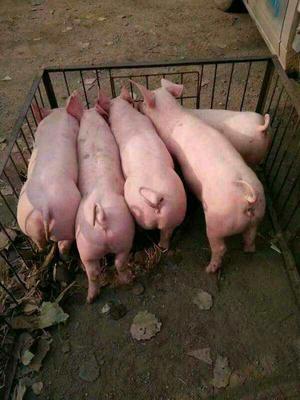 山东省潍坊市诸城市黑猪 60斤以上