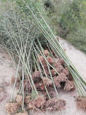 安徽省六安市霍山县毛竹种子