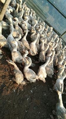 重庆万州区白鹅 6-8斤 统货 半圈养半散养