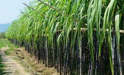 云南省昆明市官渡区红甘蔗 2 - 3cm 2 - 2.5m