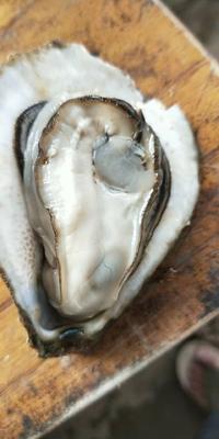 这是一张关于北部湾生蚝 人工殖养 2-3两/只 的产品图片