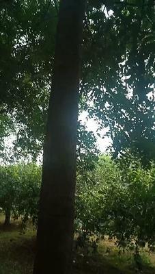 河北省衡水市深州市国槐  大量出售八至十五公分