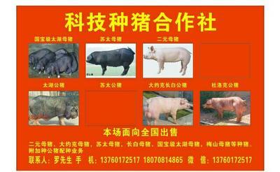 广西壮族自治区河池市罗城仫佬族自治县苏太猪苗