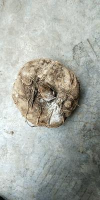这是一张关于药用魔芋 的产品图片