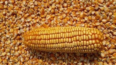 山西省临汾市汾西县玉米干粮 杂质很少 水份14%-16%
