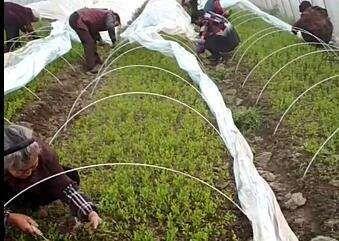 四川省成都市大邑县香橙苗 移栽苗 0.5米以下