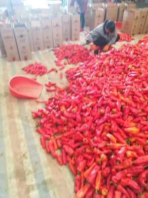 安徽省马鞍山市和县红泡椒 15~20cm 中辣 红色