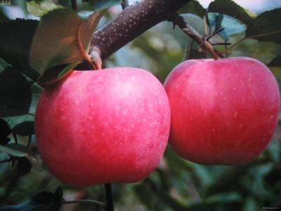 陕西省西安市碑林区红富士苹果 70mm以上 条红 纸袋
