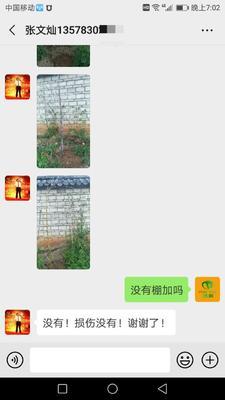 山东省泰安市岱岳区丰花紫藤 1.5~2米 1~2公分