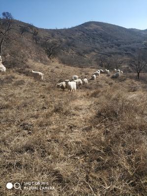 陕西省延安市吴起县山羊 80-110斤