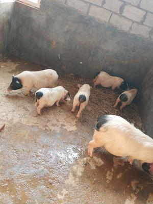 广东省茂名市信宜市巴马香猪 60斤以上