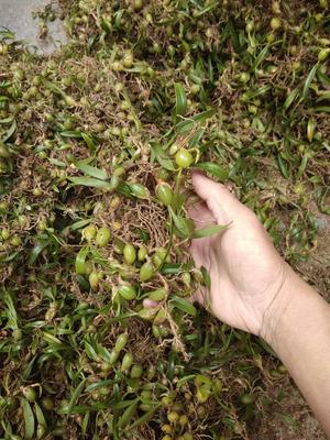 广西壮族自治区来宾市金秀瑶族自治县石橄榄