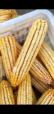 湖北省襄阳市襄州区玉米干粮 净货 水份14%-16%