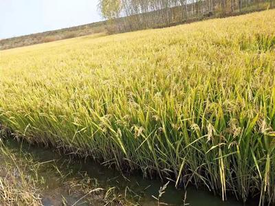 吉林省长春市二道区东北大米 一等品 晚稻 粳米