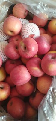 陕西省延安市宜川县红富士苹果 70mm以上 全红 纸袋