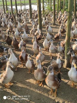 广西壮族自治区贵港市桂平市土鸭 4-5斤 统货 全散养