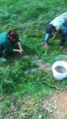 广西壮族自治区钦州市浦北县台湾泥鳅 人工养殖 10-15cm 45尾/公斤