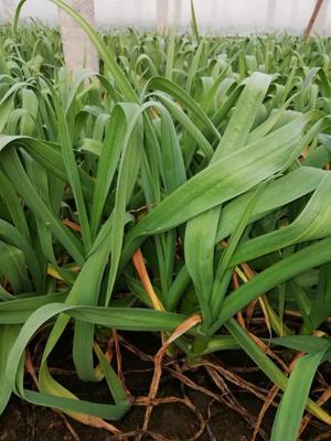 山东省烟台市莱州市红根蒜苗  50 - 60cm 红根
