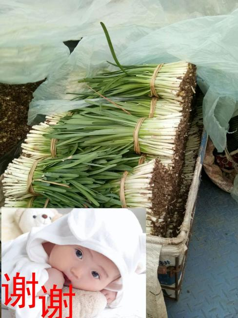 汉中韭王 二茬 30~35cm
