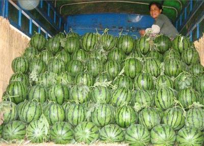 山东省菏泽市定陶县8424西瓜 6斤打底 8成熟 1茬 有籽