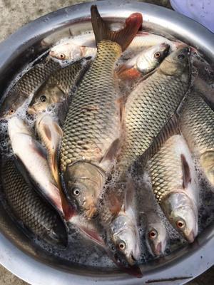广西壮族自治区柳州市鱼峰区水库鲤鱼 野生 1公斤