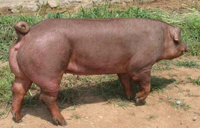 陕西省西安市周至县杜洛克猪 200-300斤