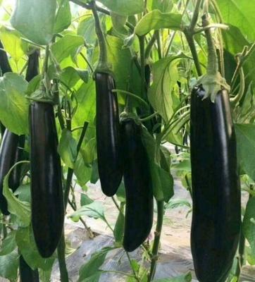 山东省潍坊市寿光市布利塔长茄 混装通货 长茄