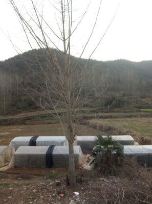 湖北省随州市随县银杏实生树