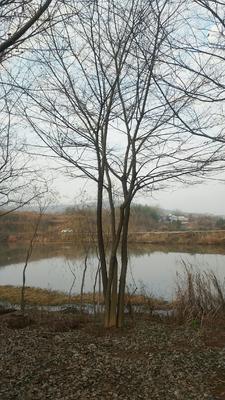 安徽省合肥市肥西县丛生朴树