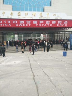 河南省开封市尉氏县龙薯9号红薯苗 15~25cm