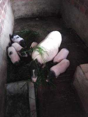 广西壮族自治区南宁市横县环江猪 20-25斤
