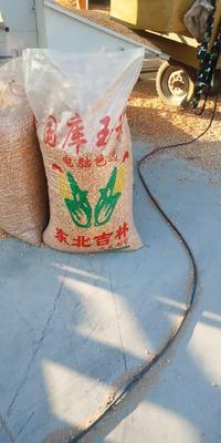 山西省忻州市忻府区先玉335玉米粒 净货 水份14%-16%