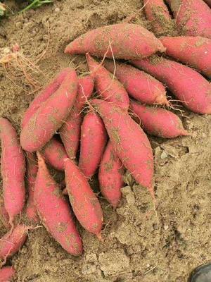 河南省开封市尉氏县西瓜红红薯苗 15~25cm