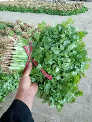 河北省邯郸市永年县大叶香菜 25~30cm