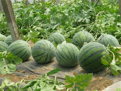 河南省郑州市金水区甜王西瓜种子 二倍体杂交种 ≥90%