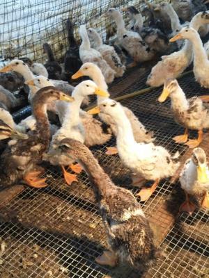 重庆丰都县麻鸭 2斤以下 统货 半圈养半散养