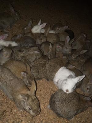 安徽省宿州市灵璧县比利时兔 5斤以上