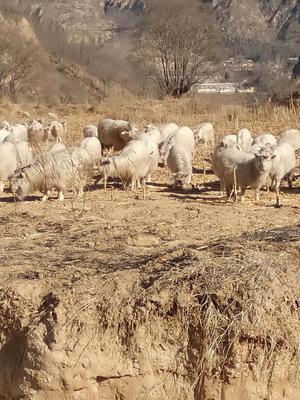 陕西省延安市子长县白山羊 30-50斤
