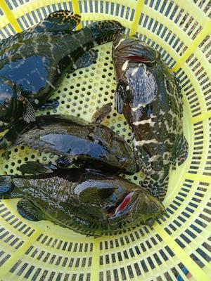 海南省海南省乐东黎族自治县珍珠龙胆石斑鱼 人工殖养 1.5-2.5公斤
