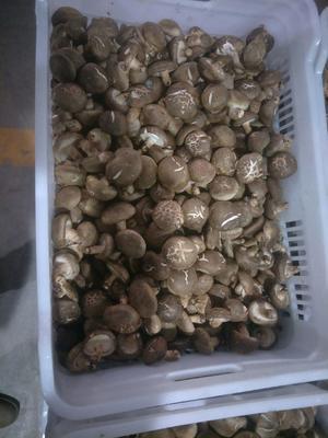 内蒙古自治区呼和浩特市玉泉区香菇808 鲜香菇 2.5cm~4cm 冬菇