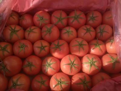 河北省邯郸市永年县大红西红柿 精品 弧二以上 大红
