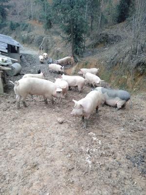 广西壮族自治区南宁市宾阳县土杂猪 200-300斤