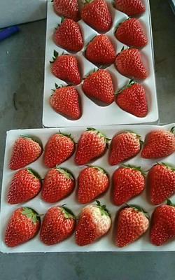 辽宁省丹东市东港市红颜草莓 20克以上